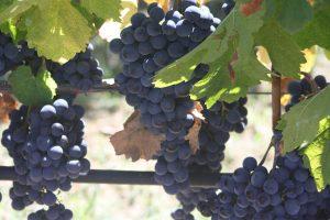 Reife rote Trauben für die Produktion von Rotwein