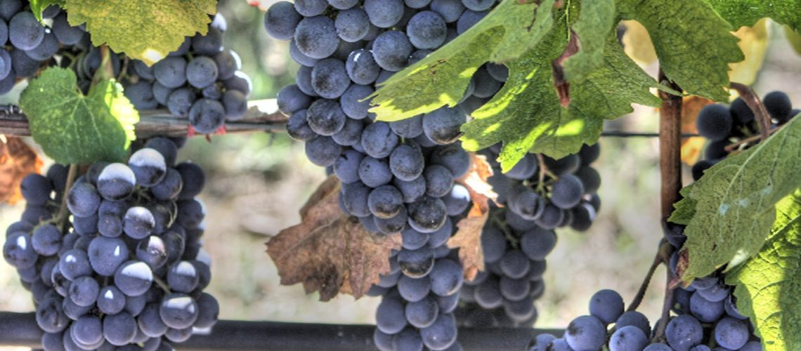 Weinreben Trauben blau