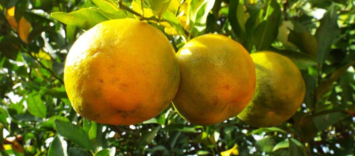 Bergamotte Zitrusfrucht